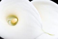Κινηματογράφηση σε πρώτο πλάνο δύο άσπρη κρίνων arum άνωθεν Στοκ Φωτογραφία
