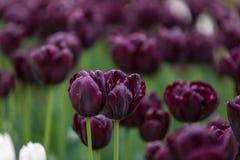 Κινηματογράφηση σε πρώτο πλάνο δύο πορφυρών λουλουδιών σε έναν κήπο Στοκ Εικόνες