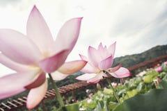 Κινηματογράφηση σε πρώτο πλάνο δύο ρόδινων λουλουδιών λωτού σε μια λίμνη, Κίνα Στοκ Εικόνα