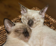 Κινηματογράφηση σε πρώτο πλάνο δύο σιαμέζων γατακιών που αγκαλιάζουν στοργικά επάνω, κοιμισμένη Στοκ φωτογραφία με δικαίωμα ελεύθερης χρήσης