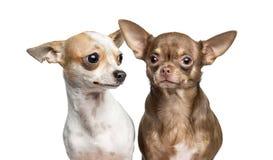 Κινηματογράφηση σε πρώτο πλάνο δύο Chihuahua, που απομονώνεται Στοκ φωτογραφία με δικαίωμα ελεύθερης χρήσης