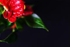 Κινηματογράφηση σε πρώτο πλάνο anthurium του άνθους, κόκκινο anthurium σε ένα μαύρο backgroun Στοκ φωτογραφία με δικαίωμα ελεύθερης χρήσης