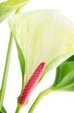 Κινηματογράφηση σε πρώτο πλάνο anthurium anthedesia Στοκ Εικόνα