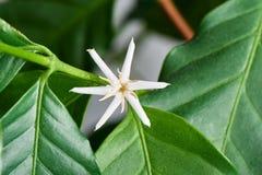Κινηματογράφηση σε πρώτο πλάνο Arabica του λουλουδιού καφέ Στοκ φωτογραφία με δικαίωμα ελεύθερης χρήσης