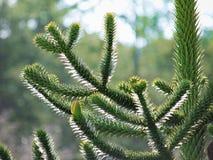 Κινηματογράφηση σε πρώτο πλάνο araucana αροκαριών δέντρων γρίφων πιθήκων Στοκ εικόνα με δικαίωμα ελεύθερης χρήσης
