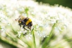 Κινηματογράφηση σε πρώτο πλάνο bumblebee στο μαϊντανό αγελάδων Στοκ φωτογραφίες με δικαίωμα ελεύθερης χρήσης