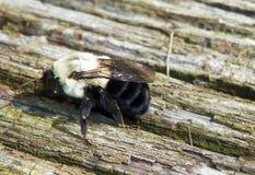Κινηματογράφηση σε πρώτο πλάνο Bumblebee στο ξεπερασμένο ξύλινο υπόβαθρο πινάκων Στοκ Φωτογραφία