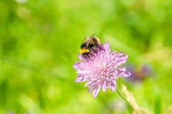 Κινηματογράφηση σε πρώτο πλάνο bumblebee στο ρόδινο λουλούδι Στοκ Φωτογραφία