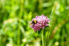 Κινηματογράφηση σε πρώτο πλάνο bumblebee στο ρόδινο λουλούδι Στοκ Εικόνες