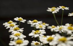 Κινηματογράφηση σε πρώτο πλάνο Chamomiles στη μαλακή εστίαση Άνθισμα chamomile - μακρο πυροβοληθε'ν floral υπόβαθρο Στοκ Εικόνα