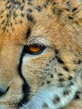 Κινηματογράφηση σε πρώτο πλάνο Cheeta Στοκ Φωτογραφίες