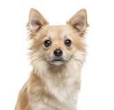 Κινηματογράφηση σε πρώτο πλάνο Chihuahua, 11 μηνών, που απομονώνονται στο λευκό Στοκ Εικόνες