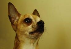 Κινηματογράφηση σε πρώτο πλάνο Chihuahua Στοκ Εικόνες