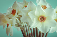 Κινηματογράφηση σε πρώτο πλάνο Daffodils άνοιξη - σταυρός επεξεργασμένος Στοκ Φωτογραφία