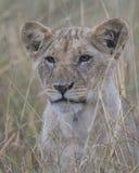 Κινηματογράφηση σε πρώτο πλάνο Frontview του προσώπου μιας cub λιονταριών συνεδρίασης που κοιτάζει μέσω της ψηλής χλόης Στοκ Εικόνα