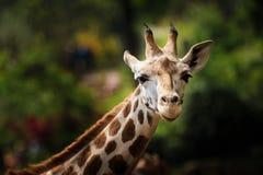 Κινηματογράφηση σε πρώτο πλάνο giraffe που κοιτάζει στη κάμερα Στοκ εικόνα με δικαίωμα ελεύθερης χρήσης