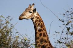 Κινηματογράφηση σε πρώτο πλάνο giraffe Στοκ φωτογραφία με δικαίωμα ελεύθερης χρήσης