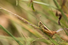 Κινηματογράφηση σε πρώτο πλάνο grasshopper που αναρριχείται σε μια λεπίδα χλόης Στοκ εικόνα με δικαίωμα ελεύθερης χρήσης