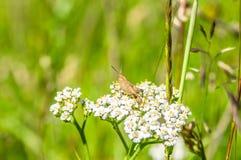 Κινηματογράφηση σε πρώτο πλάνο grasshopper στο άσπρο λουλούδι Στοκ Φωτογραφίες
