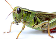 Κινηματογράφηση σε πρώτο πλάνο grasshopper Στοκ Εικόνα