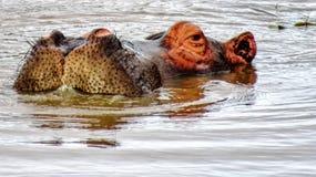 Κινηματογράφηση σε πρώτο πλάνο Hippo στην Αφρική Στοκ φωτογραφία με δικαίωμα ελεύθερης χρήσης
