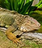 Κινηματογράφηση σε πρώτο πλάνο Iguana Στοκ φωτογραφίες με δικαίωμα ελεύθερης χρήσης