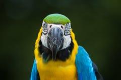Κινηματογράφηση σε πρώτο πλάνο Macaw παπαγάλων Στοκ Φωτογραφία