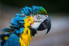 Κινηματογράφηση σε πρώτο πλάνο Macaw παπαγάλων Στοκ Φωτογραφίες