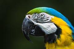 Κινηματογράφηση σε πρώτο πλάνο Macaw παπαγάλων Στοκ εικόνα με δικαίωμα ελεύθερης χρήσης