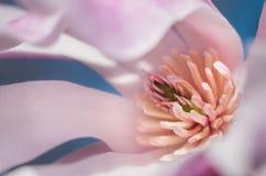Κινηματογράφηση σε πρώτο πλάνο Magnolia Loebner (Magnolia Χ loebneri) Στοκ Εικόνες