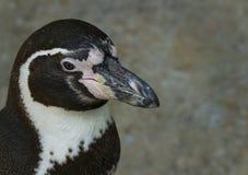 Κινηματογράφηση σε πρώτο πλάνο Penguin Στοκ φωτογραφία με δικαίωμα ελεύθερης χρήσης