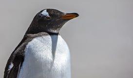Κινηματογράφηση σε πρώτο πλάνο Penguin Gento Στοκ εικόνες με δικαίωμα ελεύθερης χρήσης