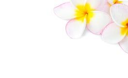 Κινηματογράφηση σε πρώτο πλάνο Plumeria, ρόδινο και άσπρο χρώμα Frangipanni στην άσπρη πλάτη Στοκ Φωτογραφίες