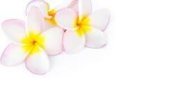 Κινηματογράφηση σε πρώτο πλάνο Plumeria, ρόδινο και άσπρο χρώμα Frangipanni στην άσπρη πλάτη Στοκ φωτογραφίες με δικαίωμα ελεύθερης χρήσης