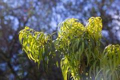Κινηματογράφηση σε πρώτο πλάνο Podocarpus Henkelii Στοκ Εικόνες