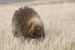 Κινηματογράφηση σε πρώτο πλάνο porcupine Στοκ Φωτογραφίες