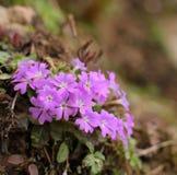 Κινηματογράφηση σε πρώτο πλάνο Primula odontocalyx Στοκ Εικόνες