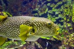 Κινηματογράφηση σε πρώτο πλάνο Pufferfish Στοκ εικόνα με δικαίωμα ελεύθερης χρήσης