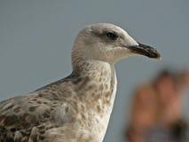 Κινηματογράφηση σε πρώτο πλάνο seagull Στοκ εικόνες με δικαίωμα ελεύθερης χρήσης