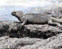 Κινηματογράφηση σε πρώτο πλάνο sideview ενός θαλάσσιου iguana σε έναν βράχο Στοκ εικόνα με δικαίωμα ελεύθερης χρήσης