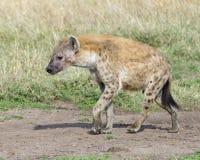 Κινηματογράφηση σε πρώτο πλάνο sideview του επισημασμένου hyena που περπατά μια πορεία ρύπου που κοιτάζει προς τα εμπρός Στοκ εικόνα με δικαίωμα ελεύθερης χρήσης