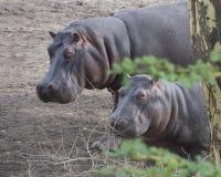Κινηματογράφηση σε πρώτο πλάνο sideview δύο hippos των διαφορετικών μεγεθών που στέκονται στο έδαφος Στοκ φωτογραφία με δικαίωμα ελεύθερης χρήσης