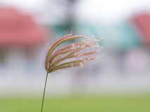 Κινηματογράφηση σε πρώτο πλάνο Swallen fingergrass Στοκ φωτογραφίες με δικαίωμα ελεύθερης χρήσης