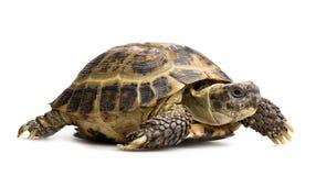 Κινηματογράφηση σε πρώτο πλάνο Tortoise που απομονώνεται στο λευκό Στοκ Φωτογραφία
