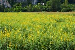 Κινηματογραφήσεις σε πρώτο πλάνο του κίτρινου υποβάθρου Crotalaria λουλουδιών Στοκ Φωτογραφίες