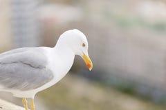 Κινηματογραφήσεις σε πρώτο πλάνο Seagull Στοκ φωτογραφία με δικαίωμα ελεύθερης χρήσης