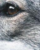 Κινητή φωτογραφία κινηματογραφήσεων σε πρώτο πλάνο dog& x27 μάτι του s Στοκ Εικόνες