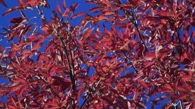 Κινούμενα κόκκινα φύλλα φθινοπώρου απόθεμα βίντεο