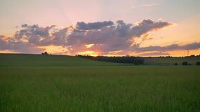 Κινούμενο μήκος σε πόδηα με τον κηφήνα του όμορφου ηλιοβασιλέματος επάνω από τον τομέα σίτου ή σίκαλης, καταπληκτικός ρόδινος ουρ απόθεμα βίντεο