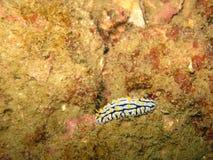 Κιρσώδες Nudibranch, γραπτό με τα κίτρινα σημεία nudibranc Στοκ φωτογραφία με δικαίωμα ελεύθερης χρήσης